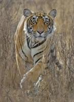 """В царството на тигъра и антилопата / брой 14 на клубното списание """"Светилник"""""""